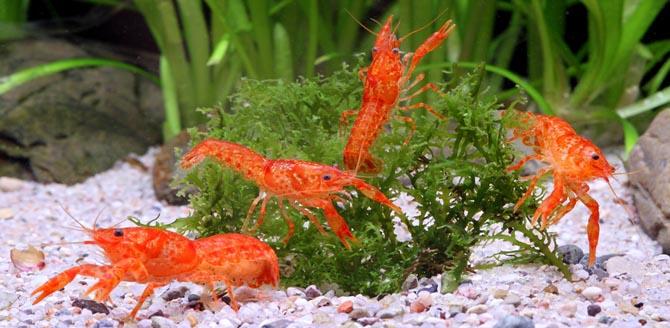 Карликовый мексиканский оранжевый рак - Cambarellus-patzcuarensis