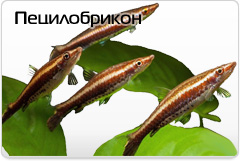 Пецилобрикон Nannostomus eques