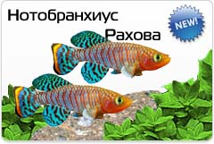 Нотобранхиус Рахова - Nothobranchius rachovii