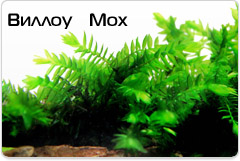 Willow Moss - Fontinalis antipyretica