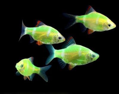 Glofish - Electric Green GloBarb