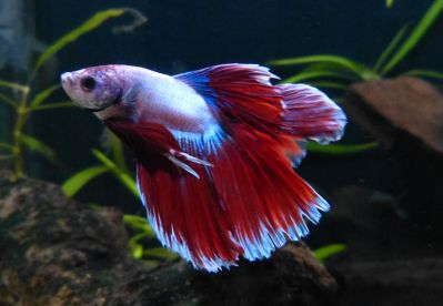 Петушок Двухвостый Butterfly - Butterfly Double tail Betta
