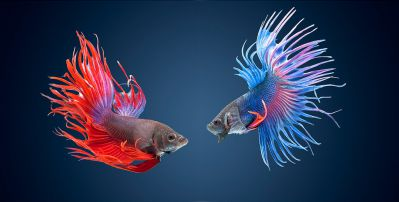 /images/product_images/info_images/fish/petushok-korolevskij-crown-taill-betta_1.jpg
