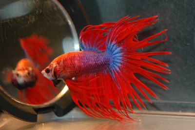 /images/product_images/info_images/fish/petushok-korolevskij-crown-taill-betta_2.jpg
