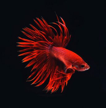 /images/product_images/info_images/fish/petushok-korolevskij-crown-taill-betta_3.jpg