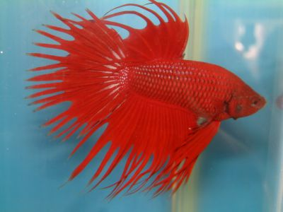/images/product_images/info_images/fish/petushok-korolevskij-crown-taill-betta_4.jpg