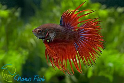 /images/product_images/info_images/fish/petushok-korolevskij-crown-taill-betta_5.jpg