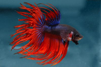 /images/product_images/info_images/fish/petushok-korolevskij-crown-taill-betta_6.jpg