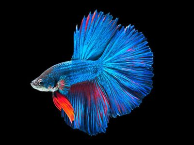 /images/product_images/info_images/fish/petushok-sinij-super-delta---blue-sd-super-delta-betta_2.jpg