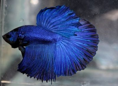 /images/product_images/info_images/fish/petushok-sinij-super-delta---blue-sd-super-delta-betta_3.jpg