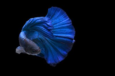 /images/product_images/info_images/fish/petushok-sinij-super-delta---blue-sd-super-delta-betta_5.jpg