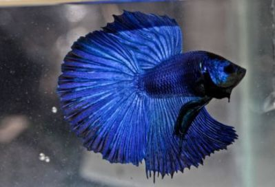 /images/product_images/info_images/fish/petushok-sinij-super-delta---blue-sd-super-delta-betta_6.jpg