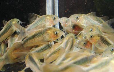 Images product images info images fish somik rabauti corydoras