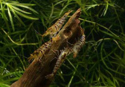 /images/product_images/info_images/shrimp/krevetka-tigr-shrimp-tiger_6.jpg