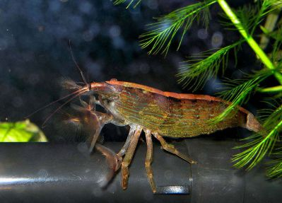 /images/product_images/info_images/shrimp/shrimp-philtrator-atyopsis-moluccensis_5.jpg