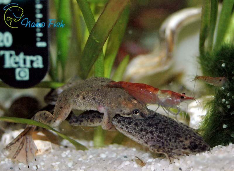 Карликовая лягушка Hymenochirus boettgeri