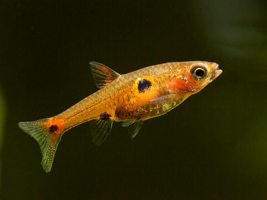 Борарас Клубничка - Boraras naevus - Рыбки - Nano Fish