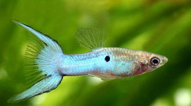 Japan blue endler blue star endlers 2017 fish tank for Endler guppy