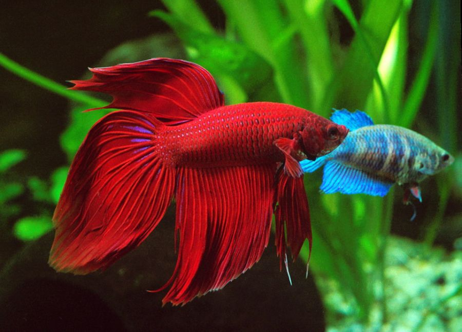 Betta splendens nano fish for Peces para criar