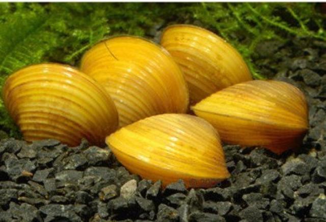 Картинки по запросу corbicula javanicus