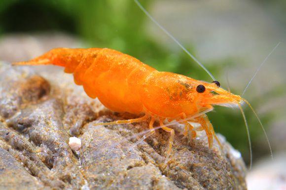 Креветка Оранжевая Сакура - Orange sakura