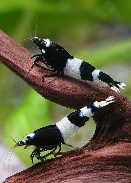 Креветка Панда черная - Panda Shrimp