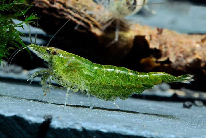 Креветка Зеленый Нефрит - Green jade Neocaridina