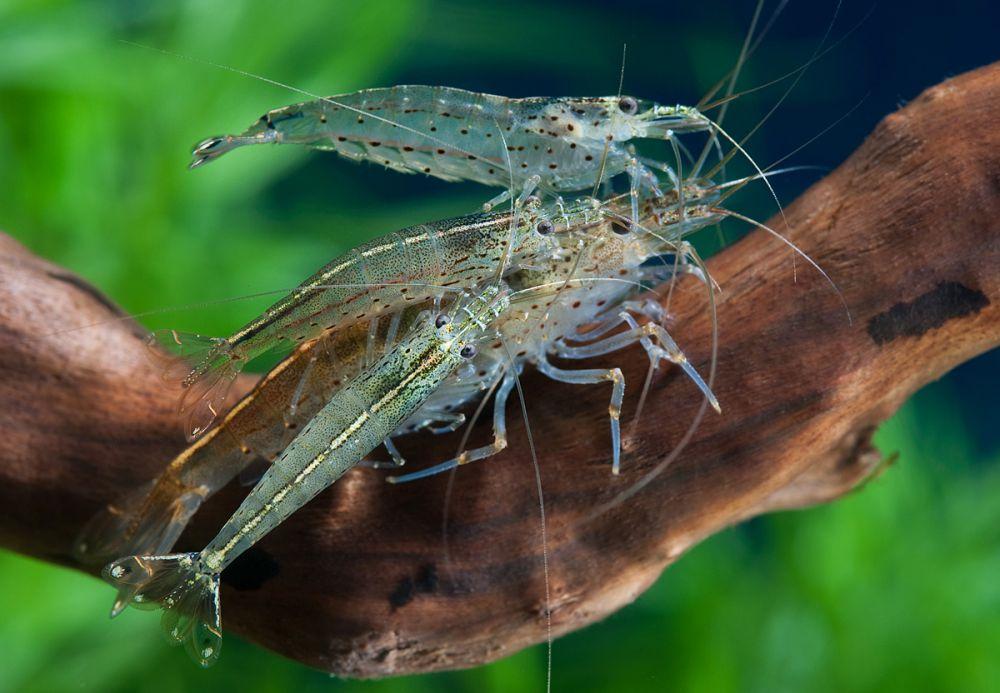 shrimpt-amano-caridina-japonica-25-3-sm_