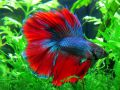 Петушок Двухвостый Blue&Red Butterfly - Blue&Red Butterfly Double tail Betta